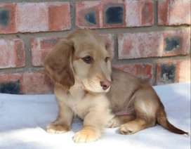 Miniature longhaired Dachshunds for sale