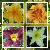 Kolekcja liliowców ogrodowych - zestaw 5 szt (mix odmian)