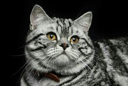 Кот для фотосессии, рекламы, съёмки