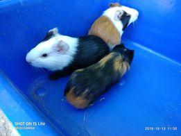Морские свинки в ассортименте