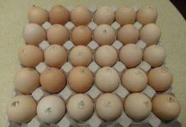 Інкубаційні яйця курей бройлерів. Инкубационное яйцо кур бройлеров