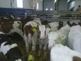 Posiadamy świeżą dostawe bydła