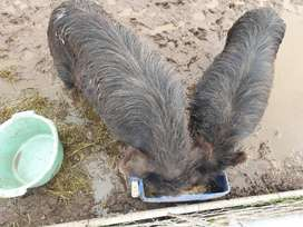 Pot belly pigs hopefield