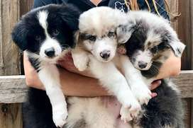 Looking for a Border Collie Puppy