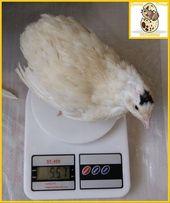 Яйца инкубационные перепела Техасец - бройлер (США).
