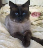 Тайский сиамский кот Сёма .Вязка кошек.