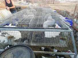 New Zealand White rabbits+ cages,drinkers & feeders
