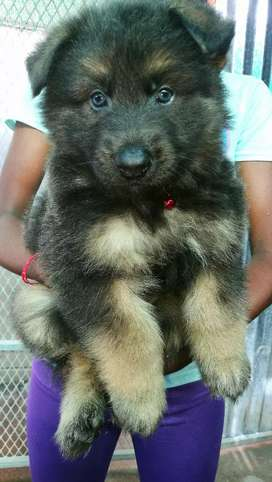 Large German Shepherd puppies