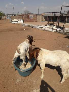 Boerbok ram 4 sale. This ram is ideal for breeding