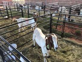 Goat , sheep and cattle fencing panels