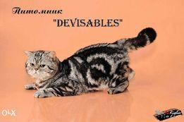 Кот мраморного окраса породы скоттиш-страйт приглашает на вязку.