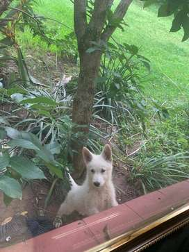 White German Shepherd puppies very active and dewormed, vaccinated