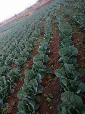 Cabbages and all vegetables available