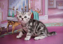 Шотландские чистокровные мраморные котята окрас вискас