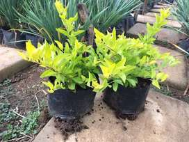 Duranta sheena's gold plants for sale