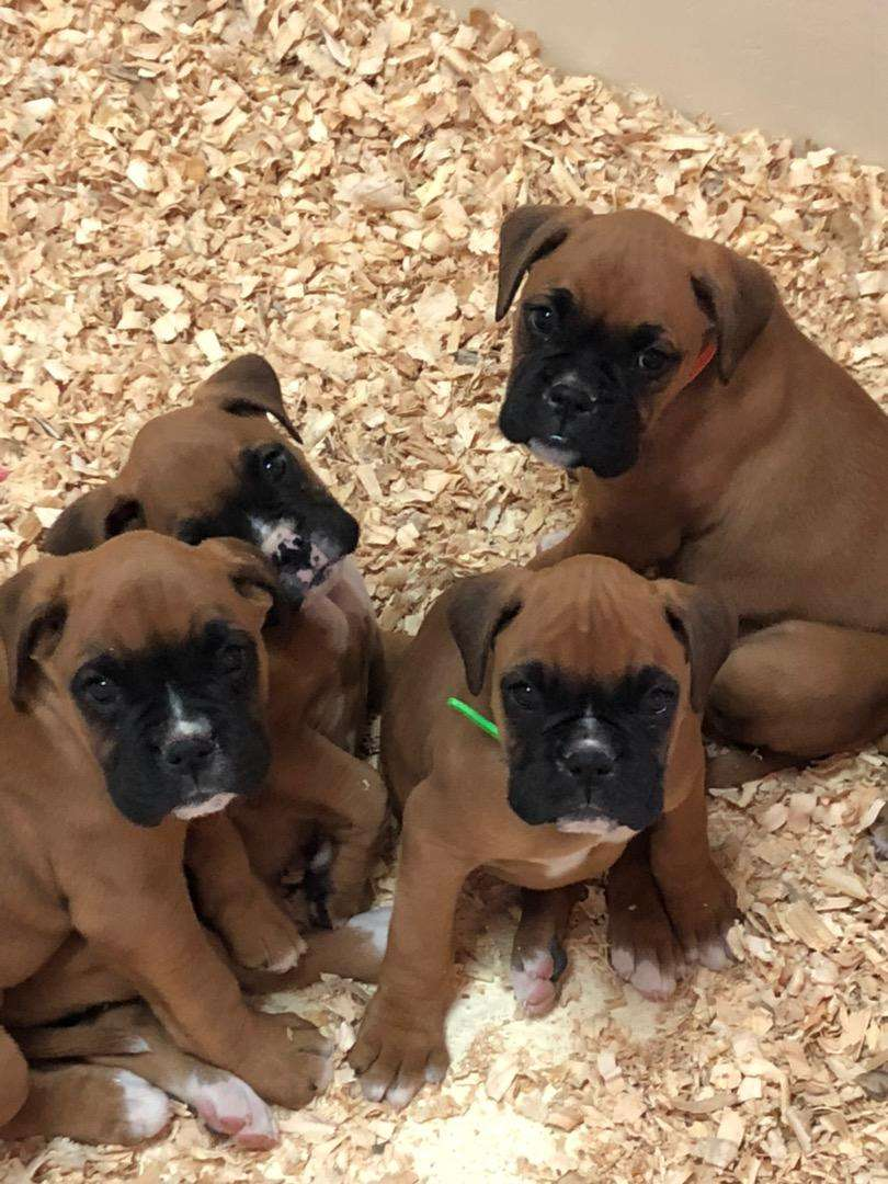 Boxer puppies available 0