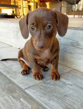 Beautiful Purebred Miniature Dachshunds (Worshondjies) for sale