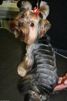 Стрижка собак (йорки-120грн,ши-тцу-150грн,пекинес-150грн,спаниель-200