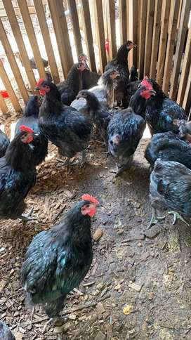 Black Australorps breeding trios for sale