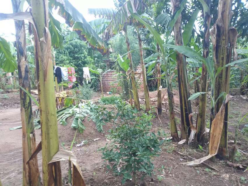 2 acers for sale in matuga Semuto  house of 2bedrooms boysquarter 50m 0
