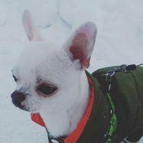 Пёс чихуахуа ищет подружку)