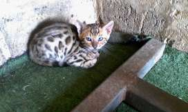 GORGEOUS BENGAL FEMALE FOR SALE