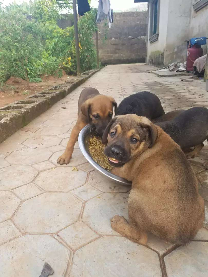 Dogs for sale 0
