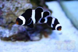 Amphiprion Ocellaris Black Nemo Łańcut