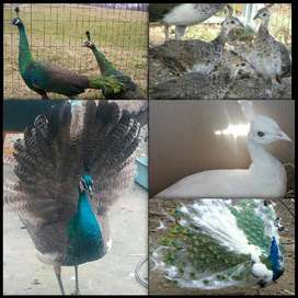 MAGNIFICENT DIFFERENT TYPES OF PEAFOWLS