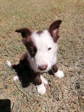 Bordercollie puppy Brown and White