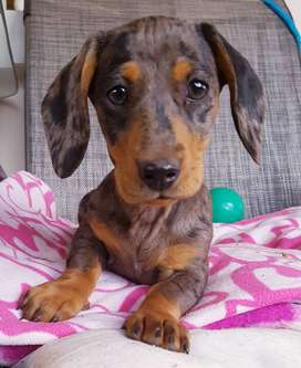 Dutchshund Dapple female for sale