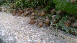 Pasza dla ślimaków Tucz minimum transport