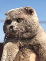Шотландский вислоухий кот приглашает на вязку)