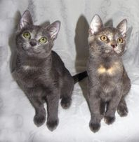 КАМИЛЬ и ВАНДА - котята метисы русской / британской голубой, 9,5 мес.