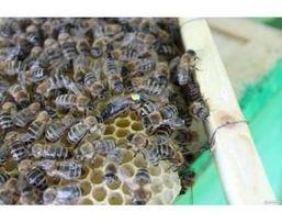 Пчеломатки породы карпатка.