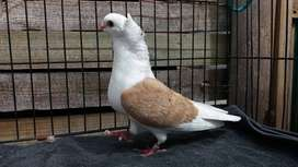 Olw pigeons for sale