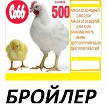 Добові курчата бройлер Кобб-500.
