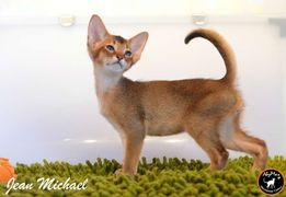 Абиссинский котенок - звездный ребенок