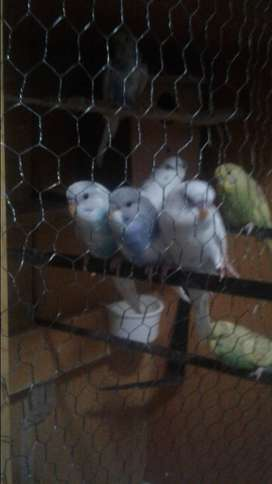Budgies for sale male and female whatapp: