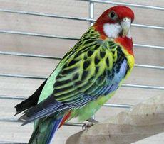 2Розелла пестрая яркий попугай.