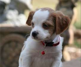 Gorgeous Brittany Spaniel Puppies For Sale - Purebred