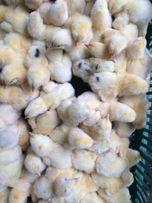 Продажа суточных и подрощенных цыплят бройлер и мясо-яичных и др.птица