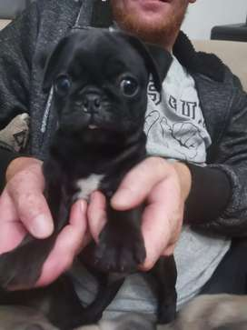 Pappies pugs for sale