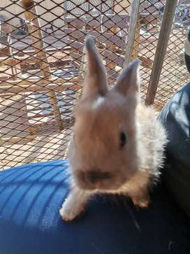 Brown Baby Bunnies For Sale!!!