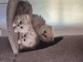 3x Chinchilla kittens available