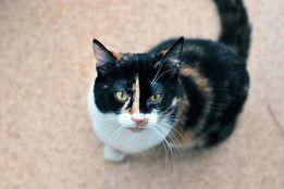 Kot. Trikolor. Kolorowa kotka szuka domu bez małych dzieci.