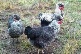 Цыплята и яйца несушек домашних ухоженных курей под запись