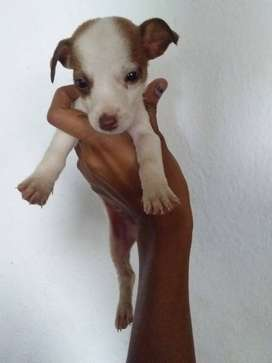 purebred jack russell male puppy