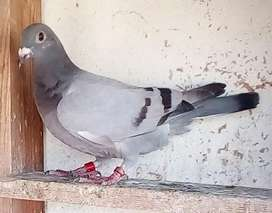 Racing pigeons youngsters