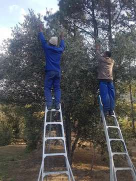 Fresh raw olives picked to order